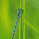 Bluet on Green by Bill Morgenstern