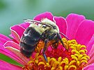 Bumble Bee on my Zinnia by FrankieCat