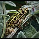 Leopard Frog by Victoria Jostes