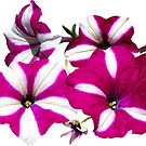 Four Red and White Petunias by Susan Savad