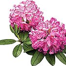 Two Pink Rhododendrons by Susan Savad