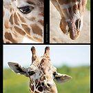 Giraffe collage by Tamara  Kaylor