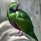 Emerald Starling by Tamara  Kaylor