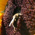 Bee on Sunflower by Samm Poirier