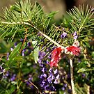 Calothamnus and Hovea by kalaryder