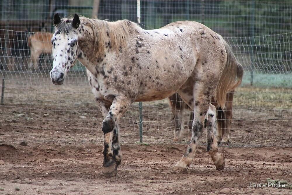 Appaloosa Horse by Laura Puglia