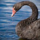 Black Swan by palmerphoto