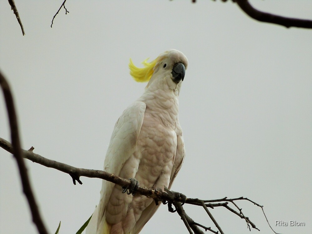 'YOU DON'T SCARE ME!' Young Sulpher Crested Cockatoo.  by Rita Blom