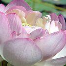 Lotus A by Anne Smyth