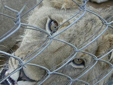 SA Lion by Britgurl