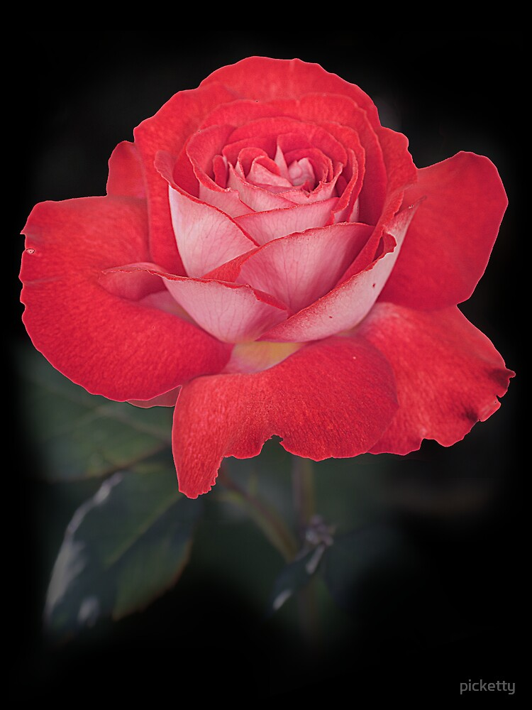 red rose for you by picketty