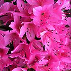 Pink Passion in the Rain by Sherry Hallemeier