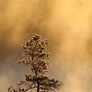 12.5.2017: Pine Tree at Cold Spring Morning by Petri Volanen