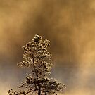 12.5.2017: Pine Tree at Cold Spring Morning II by Petri Volanen