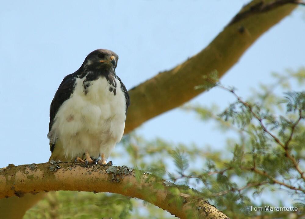 Black-chested Snake Eagle by Tom Marantette