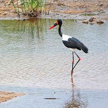 Saddle-billed stork by zuluspice