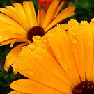 raindrops on marigolds by Jax Blunt