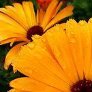 raindrops on marigolds by Jax Blunt