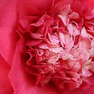 Hot Pink Camellia by Kimberly Johnson