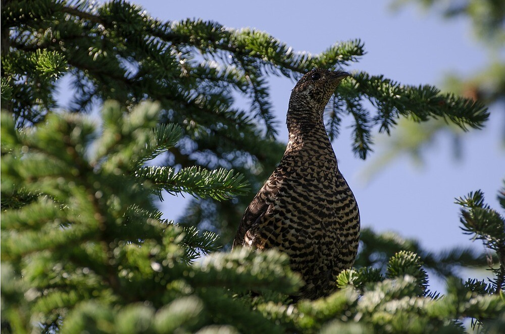 Spruce Grouse by KamloopsCam