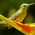 Scaly breasted hummingbird on Heliconium by Linda Sparks