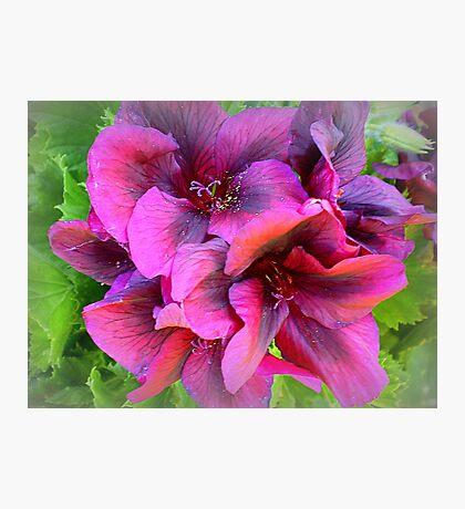 Pelargonium - Purple shade Photographic Print