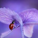 Ladybird  on purple hydrangea by Ellen van Deelen