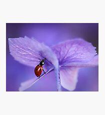 Ladybird  on purple hydrangea Photographic Print