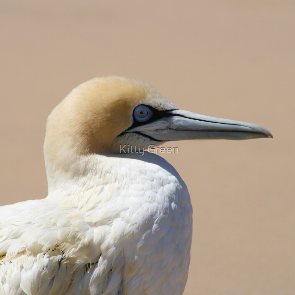 Cape Gannet (Morus capensis) by JustineEB