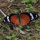 African monarch by richeriley