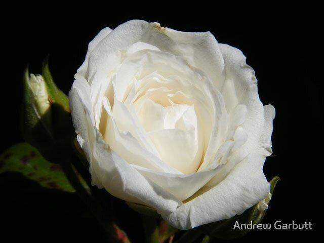 Rose by Andrew Garbutt