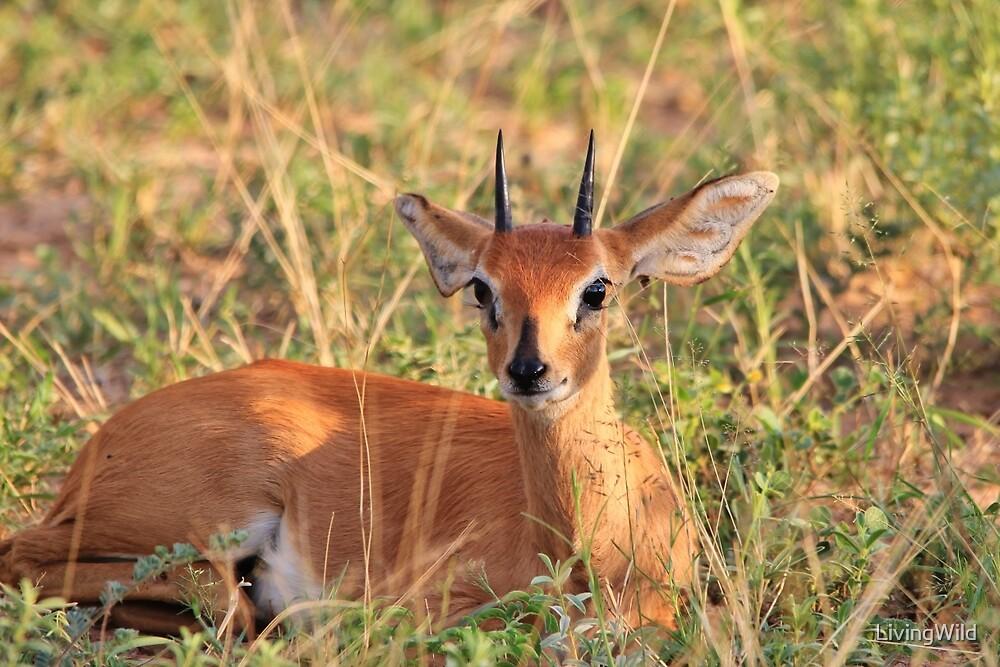 Steenbok Ram - Still Instinct by LivingWild