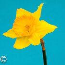 Daffodil by DPalmer