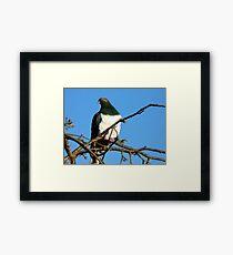 Handsome Wood Pigeon - New Zealand Framed Print