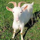 Billy The Kid Goat by taiche
