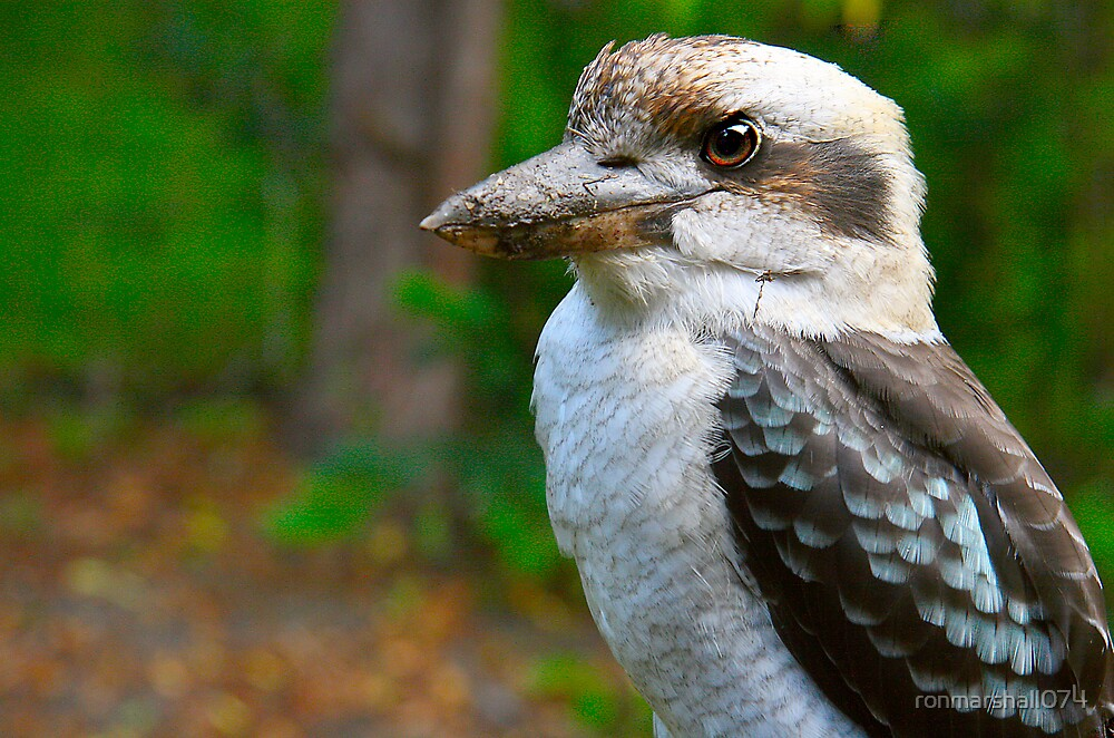 Australian Laughing Pigeon by ronmarshall074