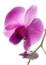 Orchid Light 1 by Dave Lloyd