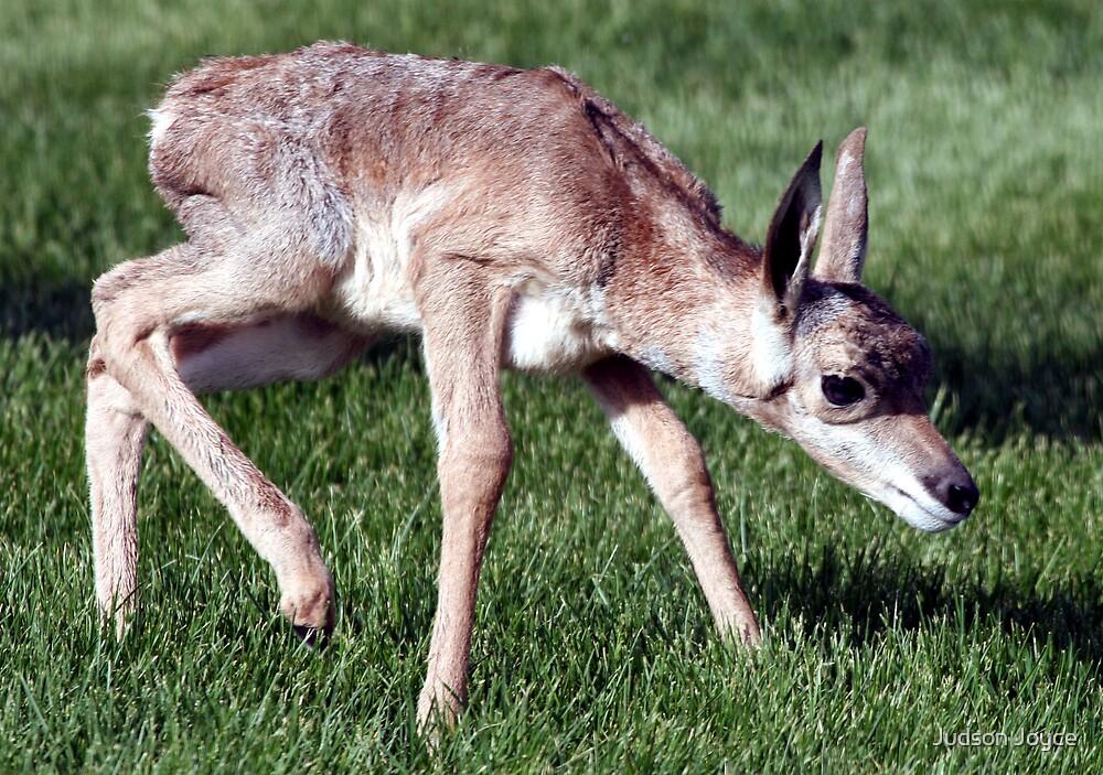 Infant Antelope by Judson Joyce