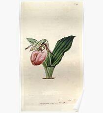 The Botanical magazine, or, Flower garden displayed by William Curtis V5 v6 1792 1793 0100 Cypripedium Acaule, Two Leaved Lady's Slipper Poster