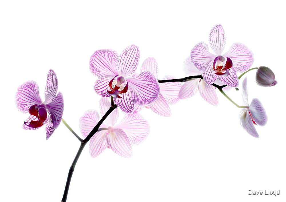 Orchid Light 2 by Dave Lloyd