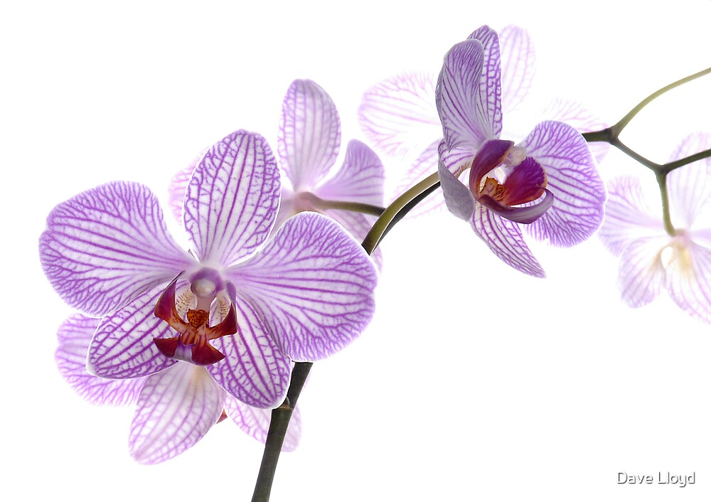 Orchid Light 5 by Dave Lloyd