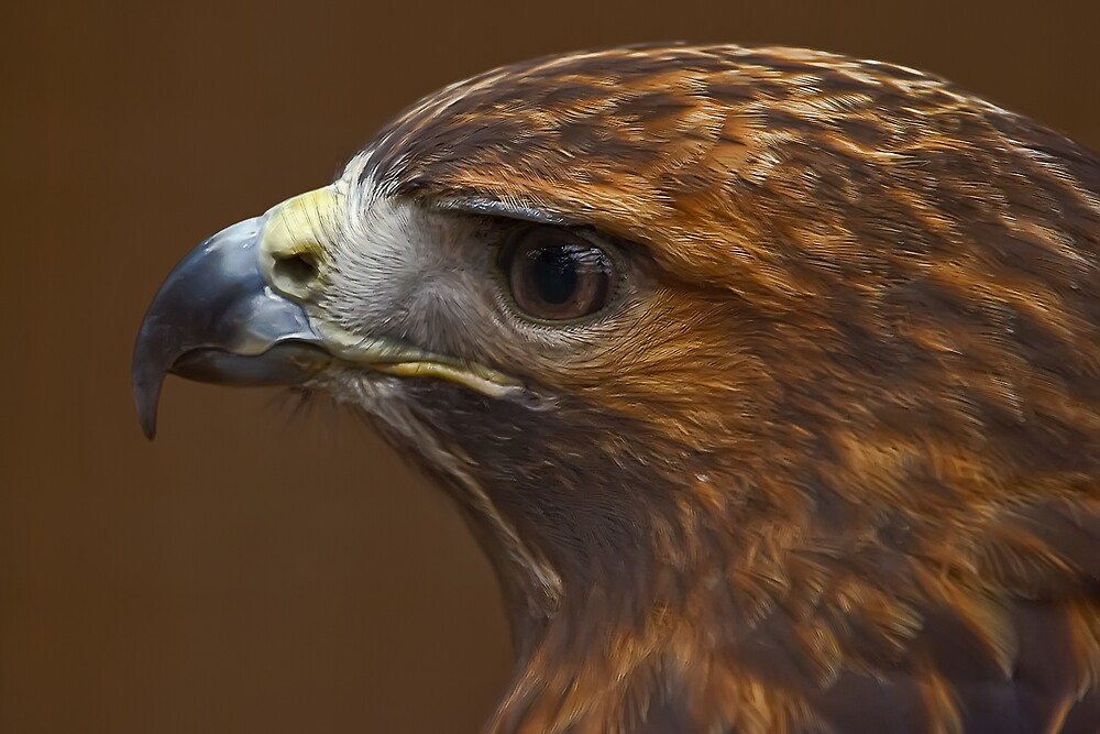 Red Tailed Hawk by Margaret Barry
