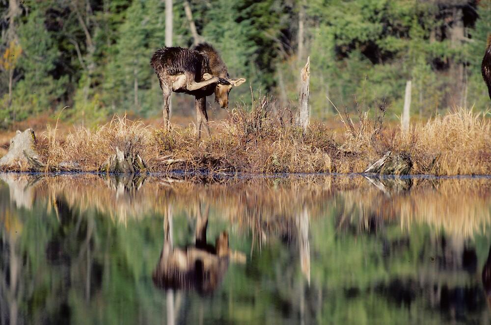 Moose Salute by bertspix