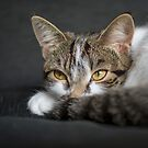 Tabby Kitten  by M S Photography/Art
