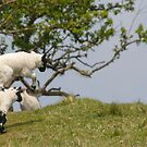 Jumping Spring Lambs  by M S Photography/Art