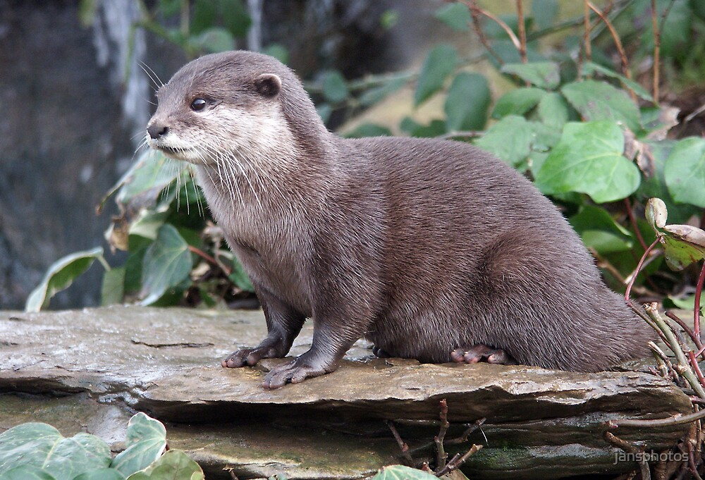 Small Clawed Otter by jansphotos
