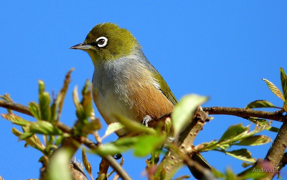 You startled me! - Silvereye - NZ - Southland by AndreaEL