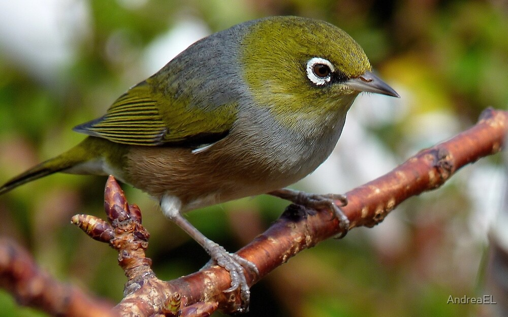 Time to Think! - Silvereye - NZ - Southland by AndreaEL