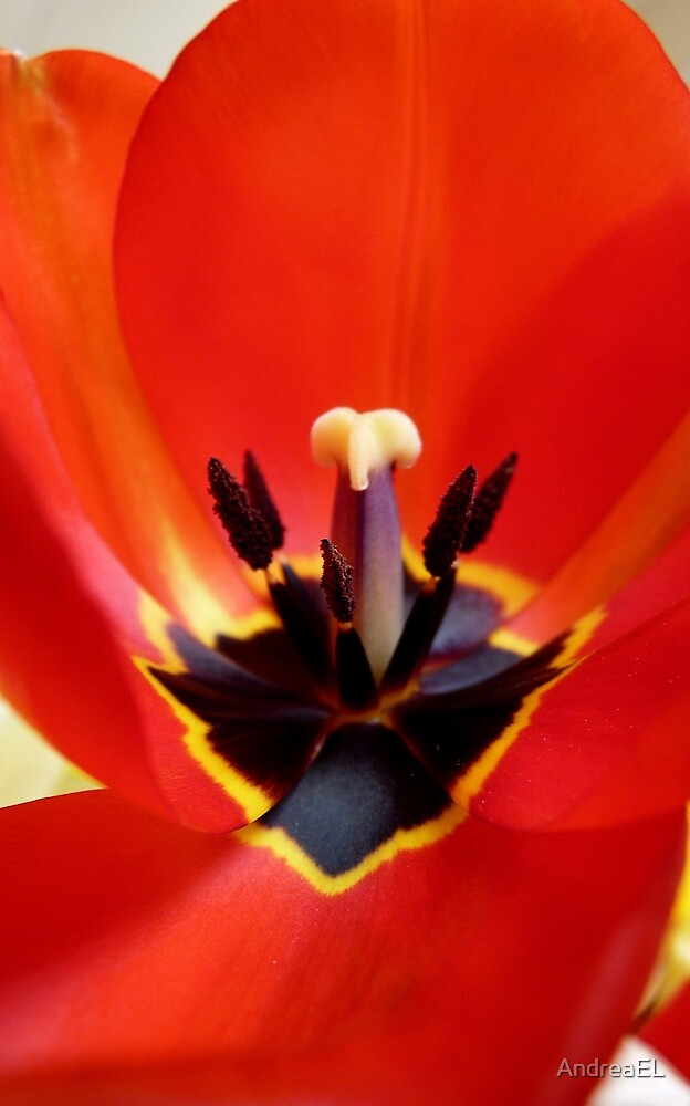 Red Center! - Red Tulip - NZ - Southland by AndreaEL