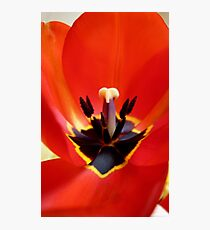 Red Center! - Red Tulip - NZ - Southland Photographic Print